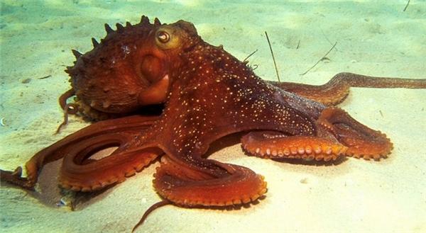 Đến khi trưởng thành thì bạch tuộc lại có ngoại hình đáng sợ vậy đấy. (Ảnh: Internet)