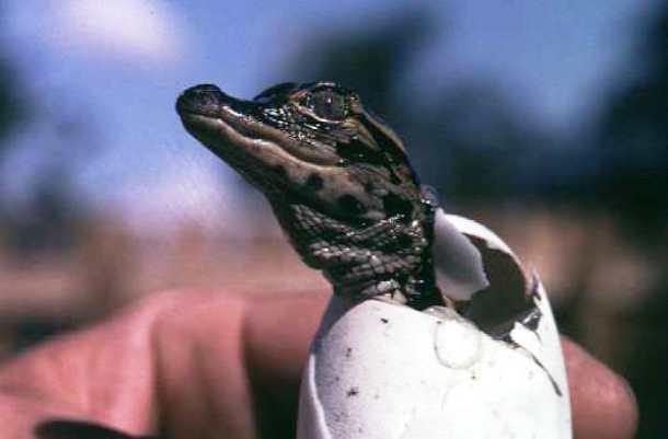 Khi mới nở cá sấu con chỉ nhỏ bằng lòng bàn tay. (Ảnh: www.valdosta.edu)