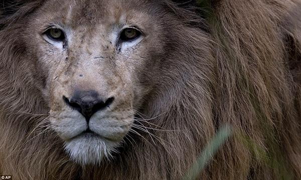 Chú sư tử oai vệ này sẽ được chuyển đến nhà mới trong vòng vài tuần tới.