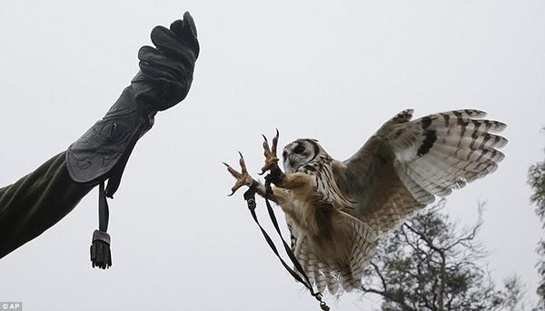Toàn bộ những loài chim săn mồi sẽ được đưa đến các khu bảo tồn động vật hoang dã hiện đại cả trong và ngoài nước.