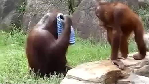 Bây giờ loài khỉ chúng nó đã thông minh tới mức này rồi đây