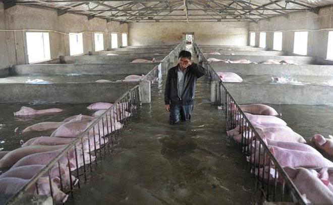"""Một trận lũ lụt nghiêm trọng ở Trung Quốc đã làm tiêu tan cả nông trại với 6000 chú lợn, người chủ không biết làm gì khác ngoài đứng khốn khổ khóc ròng giữa biển nước mênh mông, đau xót nhìn các chú lợn của mình lần lượt bị nhấn chìm như """"cắt từng khúc ruột"""". (Ảnh: Internet)"""