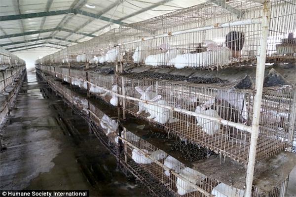 Những con thỏ sống trong môi trường chật hẹp, thiếu vệ sinh.(Ảnh: Internet)