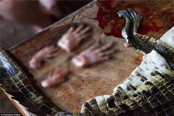Cá sấu con bị đánh đầu và lột da khi vẫn còn sống.