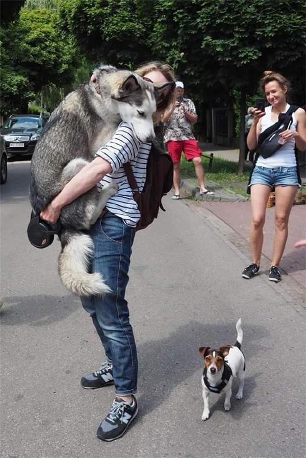 Husky là một loài chó dũng cảm, khi gặp nguy hiểm, nó sẽ lập tức nhảy lên ôm lấy bạn, để cho bạn khỏi sợ...