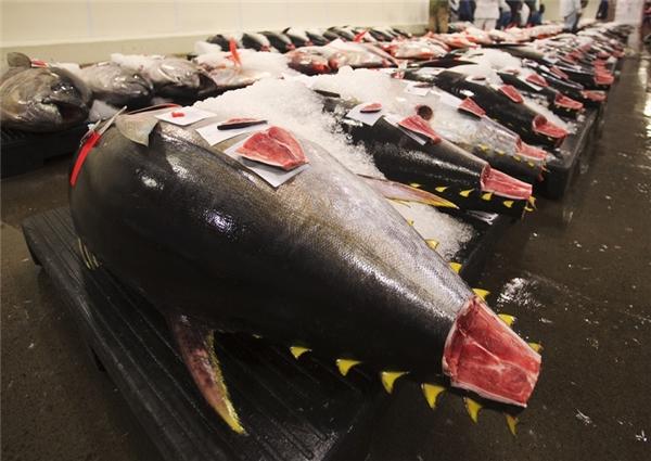 Cá ngừ vậy xanh rất được ưa chuộng trong các nhà hàng Nhật Bản.