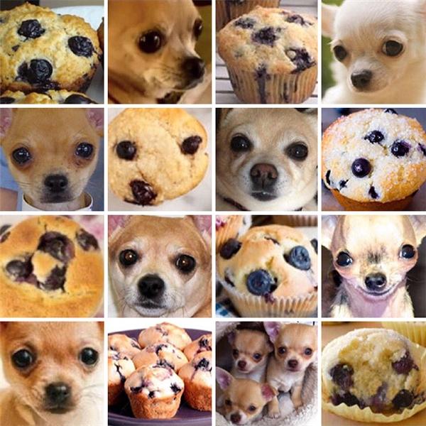 Chihuahua và muffin, bạn muốn cắn đứa nào hơn?