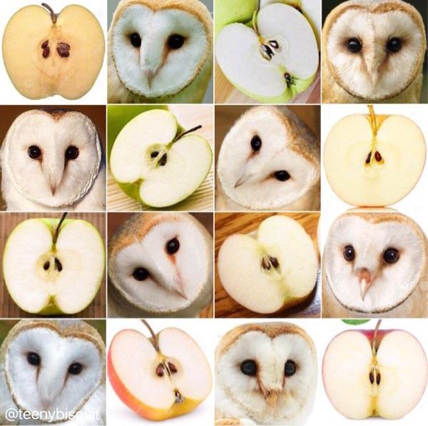 Khuôn mặt bèn bẹt của cú lợn trắng có gì khác với quả táo bổ đôi với hai con mắt là hai hạt táo?