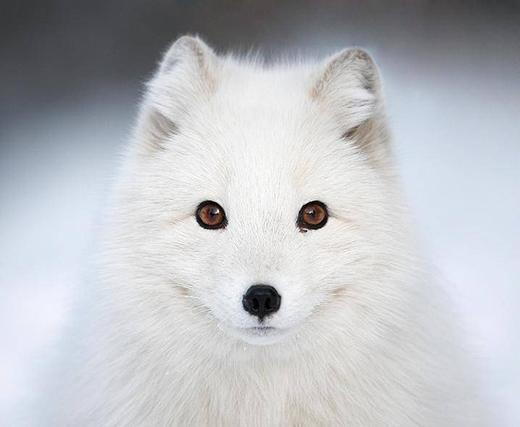 Cáo Bắc cực thường có màu lông trắng toát, đếnmùa đông sẽgiúp chúng ngụy trang.