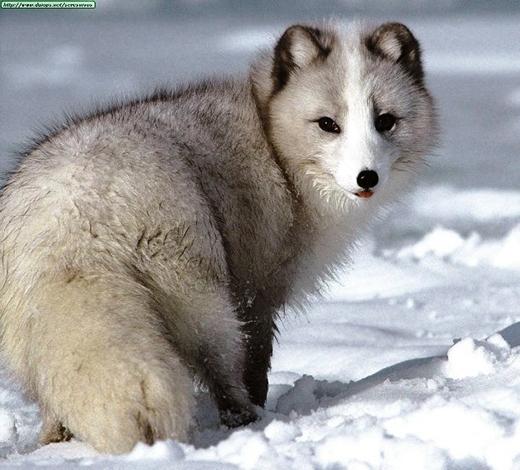 Thế nhưng không phải tuyết ở khu vực nào cũng chỉ mang một màu trắng tinh nên đôi lúc lông cáo sẽ có màu trắng xám.