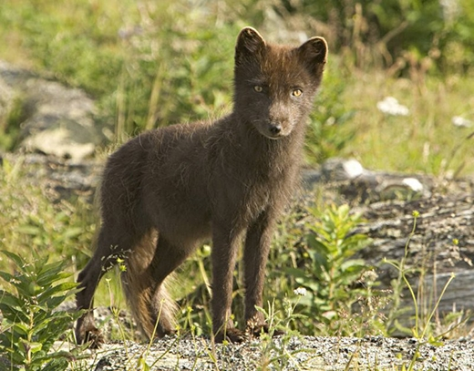 Cáo Bắc cực, loài sinh vật đẹp và bí ẩn của miền băng giá