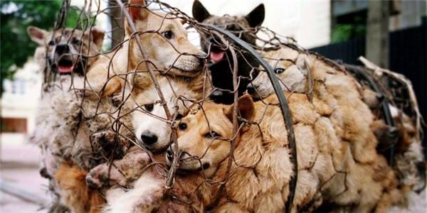 Những chú chó khốn khổ bị túm tụm vào một chiếc lồng chật hẹp chờ bị bán đi để làm thịt (Ảnh: animalaustralia)