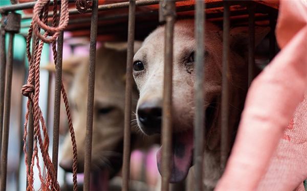 Những chú chó bị nhốt trong lồng chờ người mua lựa chọn. (Ảnh: AP, AFP)