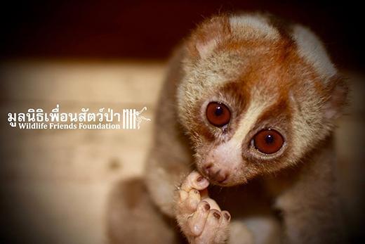 """Loài động vật chậm chạp và có ngoại hình đáng yêu như culi thường rất dễ """"làm mồi"""" cho các du khách tò mò."""