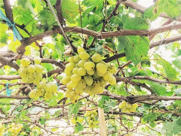 Vườn nho trĩu quả ở Phan Rang sẽ mang lại cho bạn những giây phút vô cùngtuyệt vời.(Ảnh: Travel Foody)