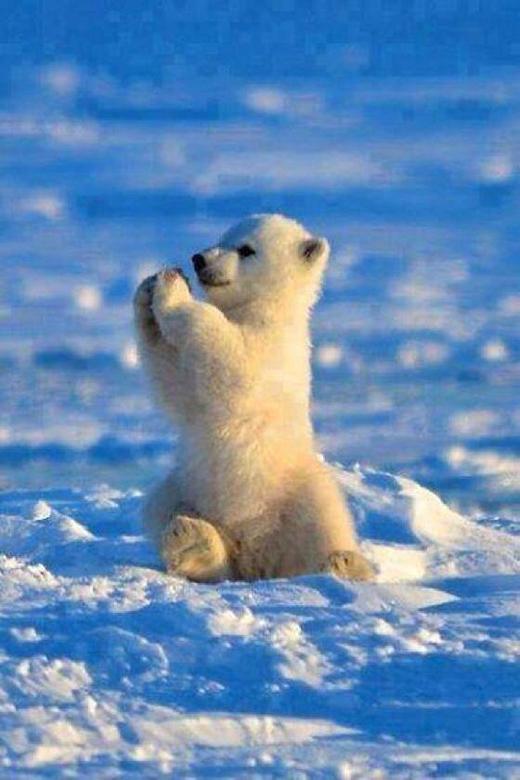 """Độ dễ thương của chú gấu Bắc cực con này đã làm """"tan chảy"""" biết bao trái tim."""