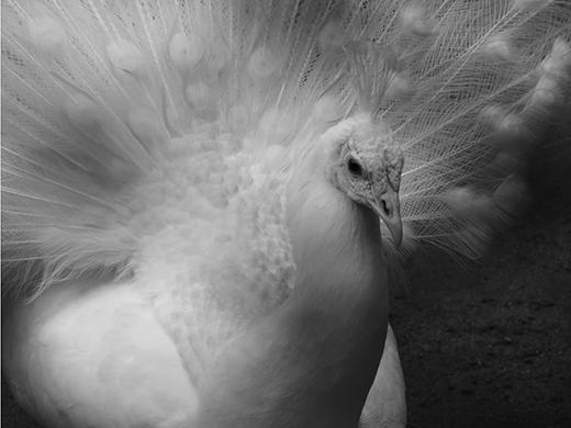 Đây là loài công có bộ lông trắng muốt từ trên xuống dưới.