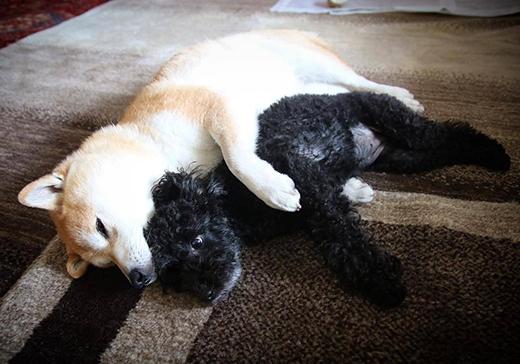 Đến khi đi chơi đã đời, về nhà mệt lả ra thì hai em cún lại nằm ôm nhau ngủ hết sức tình thương mến thương. Chỉ nhìn thôi cũng thấy ấm lòng rồi.