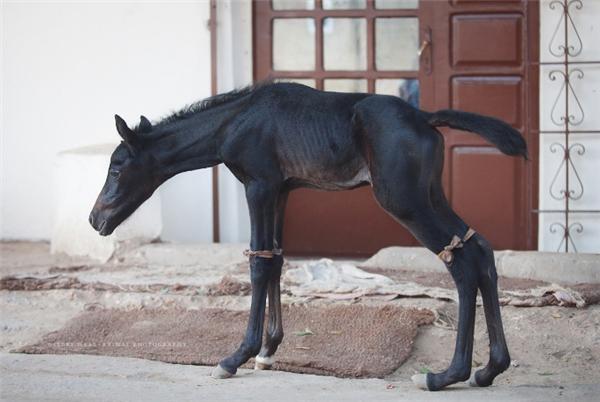 Hình ảnh những chú ngựa gầy còmvà mình đầy thương tổn không phải là điều khó thấy ở đây.