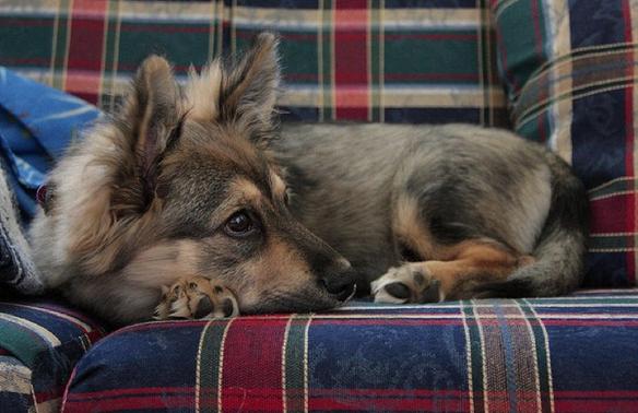 Sheepdgi (Sheep dog + Corgi): Em cũng có bố là chó chăn cừu đấy nhưng mỗi tội giống mẹ chân ngắn quá nên không ai cho ra đồng cả. (Ảnh: supremecabbage)