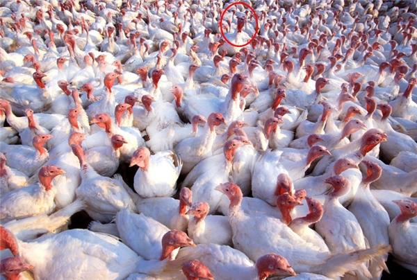 Trong gia đình gà tây, lọt ra một con gà trống? Chắc vậy rồi.(Ảnh Internet)
