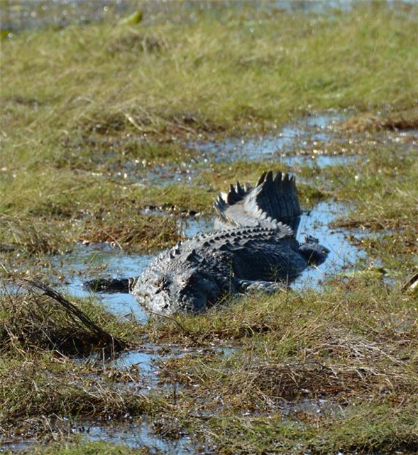 Bạn có thể bắt gặp chúng ở khắp các con lạch và đầm lầy.