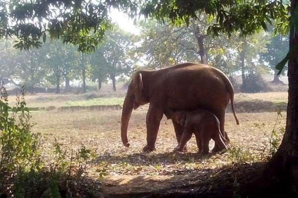 Xúc động sự thật đằng sau việc con voi điên cuồng đào đất suốt 11 giờ