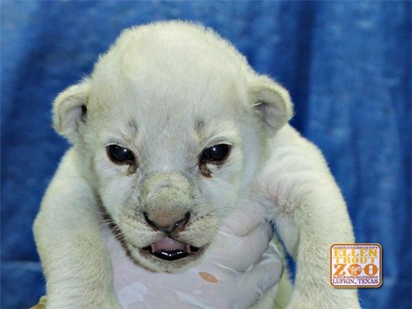 Một chú sư tử lông trắng cực kì quí hiếmvừa chào đời ở Texas.