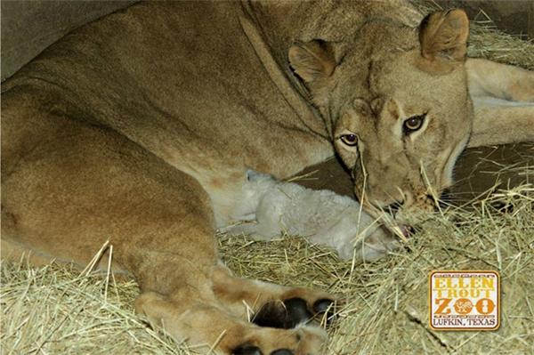 Cô sư tử mẹ trước đó cũng từng sinh con nhưng con nócó lông bình thường và nókhông có sữa.