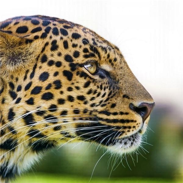 Các đốm hoa văncủa báo đốm Cheetah có đường kính khoảng3.81cm và được sử dụng cho việc ngụy trang.