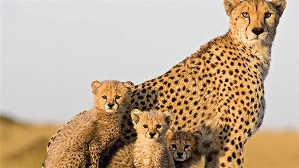 Báo mẹ mỗi lần sinh nở thường sinh ra 3 con non, tất cả đều ở với mẹ trong vòng 1-2 năm đầu cho đến khi tự lập. Khi âu yếm các con, báo mẹ cũng khẽ gầm hừ hừ giống như mèo.
