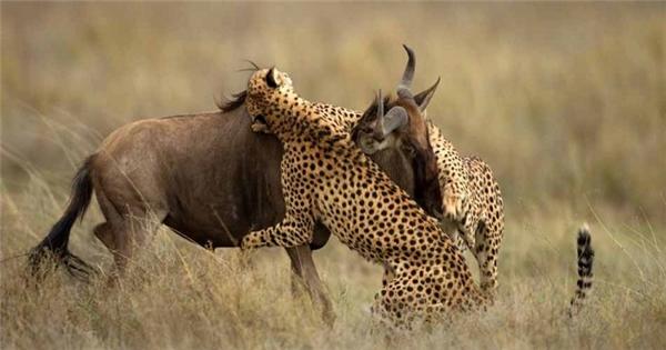 Thức ăn của báo đốm là các loài động vật ăn cỏ ở đồng bằng Châu Phi như linh dương Gazen, linh dương đầu bò, ngựa vằn v.v...