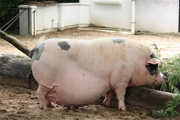 Lợn nào mà không béo, các bác cứ đùa.