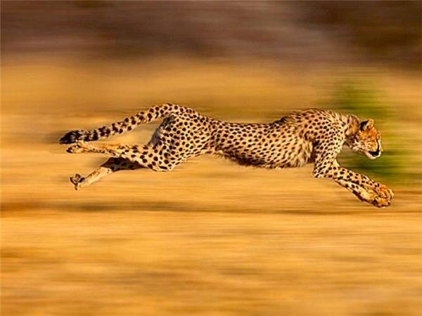 Loài báonày chỉ cần 4 bước là đạt tốc độ tối đa trong điều kiện không có vật cản. Đây là bí quyết cho những sải chân thần tốc, giúp nó có thể thực hiện một cuộc tăng tốc ngoạn mục.