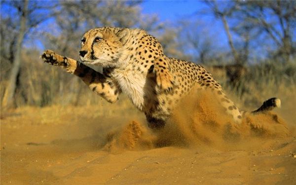 Không giống các loài săn mồi khác ở Châu Phi, báo Cheetah thích đi săn vào lúc sáng sớm hoặc tối muộn vì lúcđó nhiệt độ không quá nóng. Khi phát hiện thấy con mồi, chúng tăng tốc như một chiếc siêuxe, đạt vận tốctừ 0 km/h lên tới 100km/h chỉ trong 3 giây.