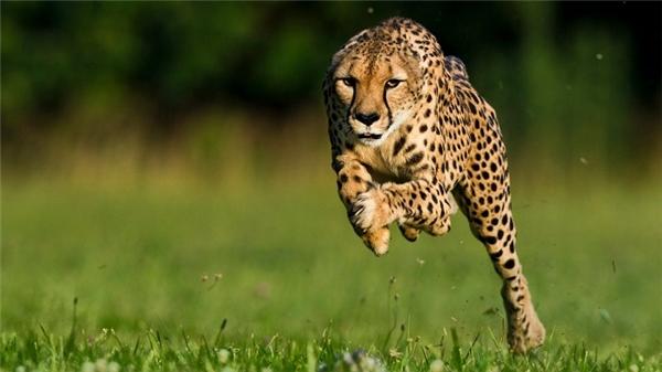 Báo Cheetahđược ví như một kẻ sát nhân đẫm máu, trung bình mỗi con báo săn khoảng 7,5 tấn thịt mỗi năm, nhiều hơn bất kỳ động vật ăn thịt nào khác.