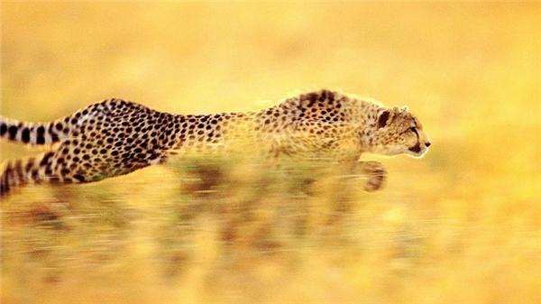 Báo Cheetah được thiết kế sinh học để trở thành loài có vận tốc nhanh nhất trong họ nhà mèo.