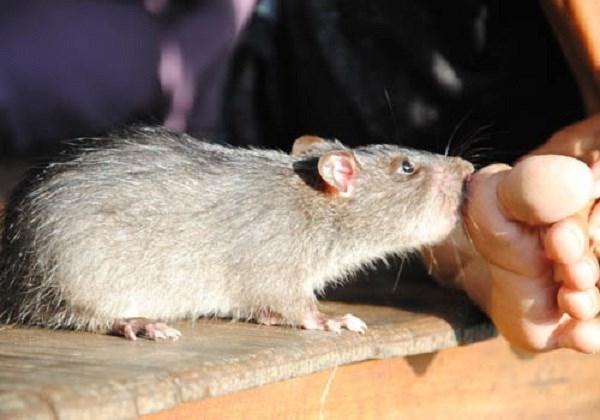 Dịch hạchlây truyền chủ yếu từ động vật gặm nhấm (chuột, thỏ...) thông qua bọ chét.