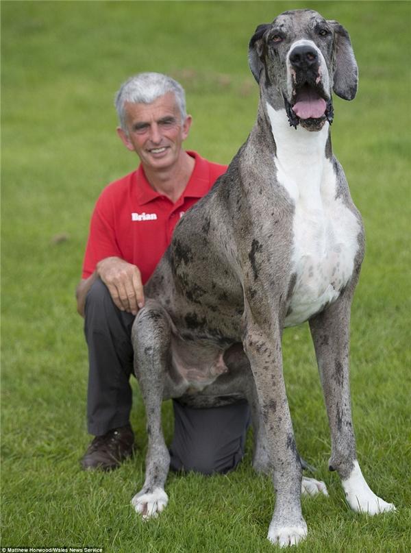chó cao nhất thế giới
