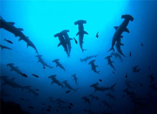 Một đàn cá mập búa đang đi săn mồi khiến ai cũng nổi da gà.