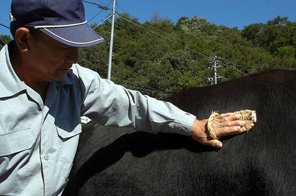 Kĩ thuật massagegiúp cân đối lượng mỡ trong cơ thể bò, luôn đảm bảo ở mức 35%.