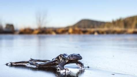 Loài ếch vốn nhanh nhẹn cũng không kịp chạy thoát.