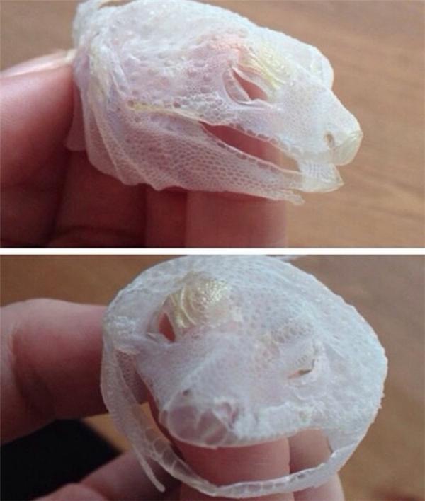Hiếm hoi mẩu da mặt được lột hết sức nguyên vẹn của một con thằn lằn.