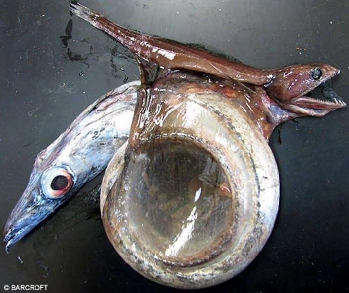 Con cá bị thủng bụng vì nuốt chửng con mồi to gấp 10 lần và dài gấp đôi nó.