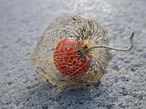 """Hoa tầm bóp, hay còn gọi là hoa lồng đèn Nhật Bản, thường nở vào mùa đông và héo vào mùa xuân, để lộ ra quả tầm bóp bên trong. Chính nhờ đặc điểm độc nhất vô nhị này mà loài hoacòn được gọi là """"Sự sống trong cái chết""""."""
