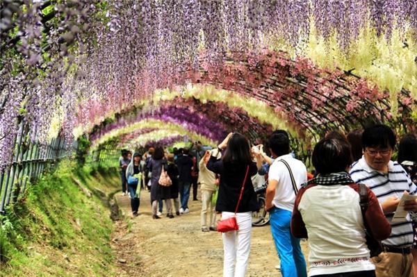 Tọa lạc tại thành phố Kitakyushu, Nhật Bản,Kawachi Fuji là một vườn hoa đậu tíađáng kinh ngạc với20 loài khác nhau. Điểm đặc biệt của khuvườn làdu khách có thểđi bộ xuốngđường hầm Wisteria mê hoặc đầy màu sắc. Thời điểm thích hợp nhất để chiêm ngưỡng con đường hoa này là từ cuối tháng 4 đến giữa tháng 5.