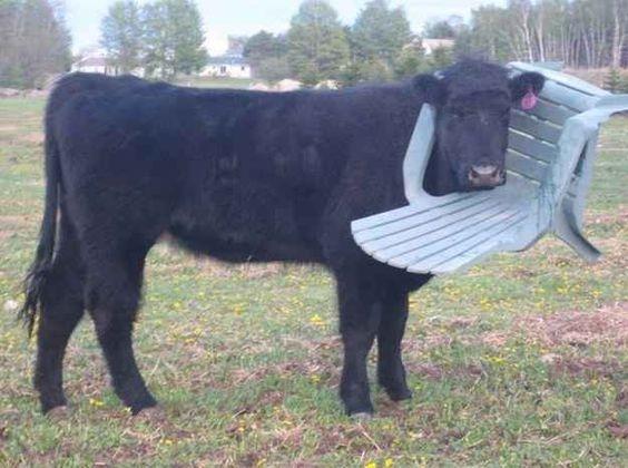 Hình như chú trâu đen này tưởng nhầm chiếcghế là bụi cỏ thì phải.