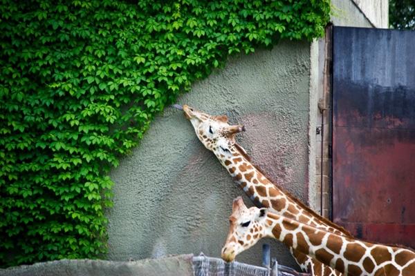 Chiếc lưỡi của chú hươu cao cổ tạo cảm giác như thể đã quét sạch một mảng tường đầy lá.