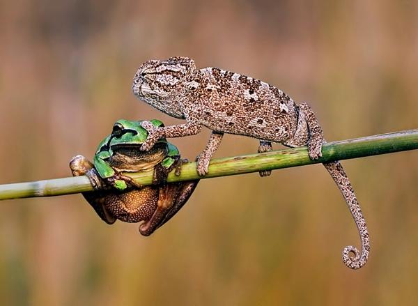 Chú tắc kè xấu tính khóa mõm một chú ếch, có lẽ vì không chịu nổi tiếng ồn.