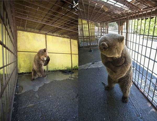Chú gấu đáng thương tự cắn chân mình do căng thẳng và trầm cảm vì bị nhốt.
